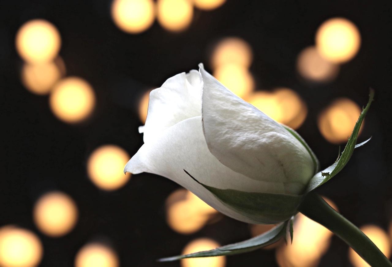 witte roos lijden ontleed